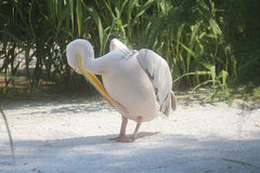 Pelican cleans feathers Royalty Free Stock Photo