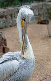 Pelican cleans his feathers. White pelican cleans his feathers stock photo