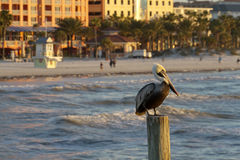 Pelican At Clearwater Beach On the Gulf Of Mexico Royalty Free Stock Photography