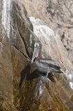 Pelican on cliff Royalty Free Stock Images