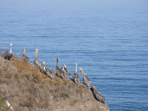 Pelican Cliff Stock Images
