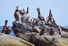 Pelican clony Corona Island, Loreto Baja California Mexico stock photo