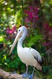 Pelican.Close acima em um dia ensolarado imagens de stock royalty free