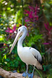 Pelican.Close para arriba en un día asoleado imágenes de archivo libres de regalías