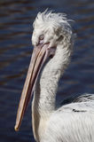 Pelican Close up Royalty Free Stock Images