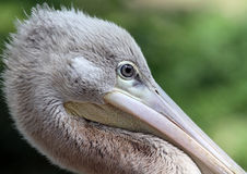 Pelican close-up Royalty Free Stock Photo