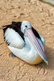 Pelican close up portrait on the beach Stock Photo