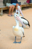 Pelican close up portrait on the beach Royalty Free Stock Photos