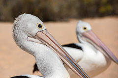 Pelican close up portrait on the beach Royalty Free Stock Image