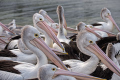 Pelican close up portrait on the beach Stock Images