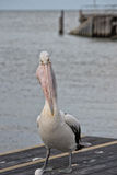 Pelican close up portrait on the beach Royalty Free Stock Images