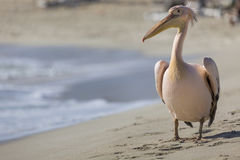 Pelican close up portrait on the beach in Cyprus. Stock Photos
