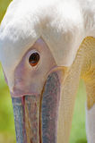 Pelican close-up portrait. Royalty Free Stock Photos