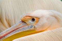 Pelican close up Royalty Free Stock Photography