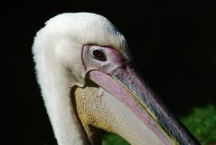 Pelican close-up Royalty Free Stock Images