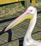 Pelican. Close up of yellow beaked pelican taken atb a local zoo royalty free stock image
