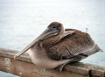 Pelican closeup Stock Photography