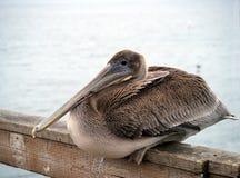 Pelican closeup. Closeup of a Pelican sitting. Taken at Santa Cruz California Stock Photography