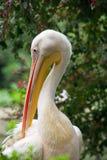 Pelican closeup Stock Photo