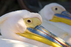 Pelican closeup. A closeup of a beautiful pelican bird with a blue & yellow colored beak Royalty Free Stock Images
