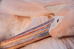 The pelican. A closeup of a pelican cleaning its feathers Royalty Free Stock Photos