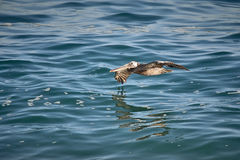 Pelican closeup flying over the sea of cortez Stock Photo