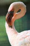 Pelican, closeup, head. Closeup portrait of pelican  by green background Stock Image