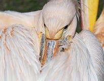 Pelican Royalty Free Stock Photos