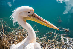 Pelican closeup. Royalty Free Stock Photography