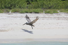 Pelican at the coast in Mexico, Cancun Royalty Free Stock Images