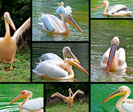 Pelican collage Stock Photos