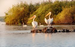 Pelican colony in Danube Delta Romania at dusk. Pelican colony in Danube Delta Romania. The Danube Delta is home to the largest colony of pelicans outside Africa royalty free stock photo