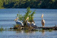 Pelican Colony on Fortuna Lake in the Danube Delta royalty free stock image