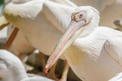 Pelican Colony Royalty Free Stock Image