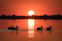 Pelican colony at sunrise in Danube Delta Romania stock image