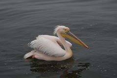 Pelican. This colorful pelican was actually one of several in Walvis Bay in Namibia swimming near our boat and begging for a handout Stock Images