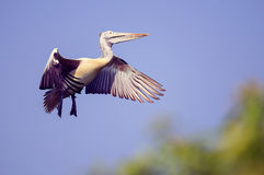 Pelican coming in to land Royalty Free Stock Photos
