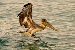 Pelican coming in. This pelican was photographed during landing on the sea Royalty Free Stock Images