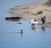 Pelican Comng Ashore Royalty Free Stock Photography