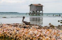 Pelican on Conch Shells Stock Photos