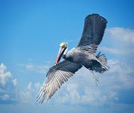 A pelican is constantly in search for another water-based meal. Large sea faring birds spend their time near both salt and fresh water environments stock photography