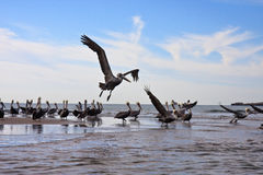 Pelican convention. Group of pelicans beginning to take flight Stock Images
