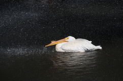 Pelican cooling off Stock Photo