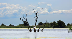 Pelican and cormorans on a dead tree in the Danube. One pelican and cormorans on a dead tree in the Danube river delta, Romania Royalty Free Stock Photo