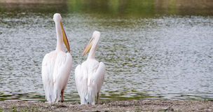 Pelican couple Royalty Free Stock Photos