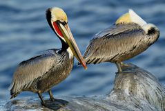 Pelican Couple. This image was take at La Jolla, CA Stock Image