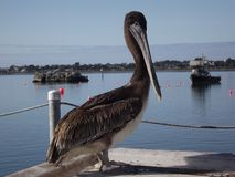 Pelican. In Crescent City California Harbor Stock Photography