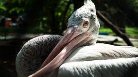 Pelican cross-billed deformity. Side view of Pelican cross-billed deformity, Twisted mouth stock images
