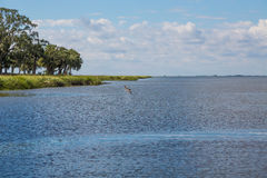 Pelican Crusing Over Blue Water in Bay. A bronw pelican soaring over a blue bay in a saltwater marsh Royalty Free Stock Photography