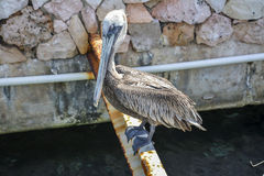 Pelican in Curacao, Dutch Caribbean. A pelican in Curacao, Dutch Caribbean Royalty Free Stock Photo